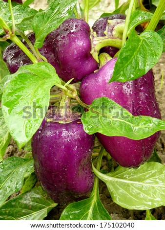 purple peppers ripening on the vegetable bed - stock photo