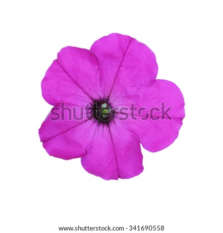Purple petunia isolated on white background - stock photo