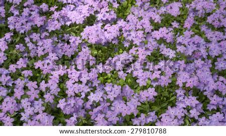 Purple phlox flowers - stock photo