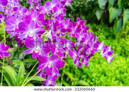 Purple pink orchid from Singapore National Orchid Garden - stock photo