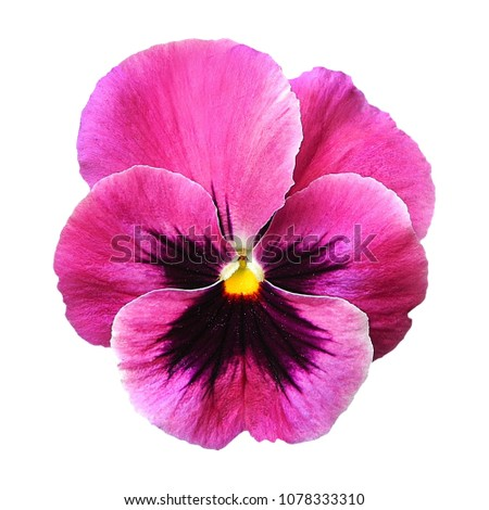 Purple pink pansy flower on white stock photo royalty free purple pink pansy flower on white isolated background with saved clipping path mightylinksfo