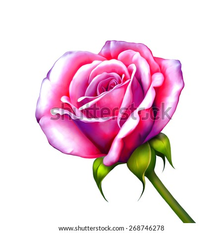 Purple Pink Rose Flower, Sexy and beautiful and rose bud isolated on white background. Vector illustration - stock photo