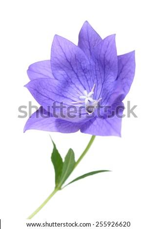 purple Platycodon grandiflorus flower isolated on white background  - stock photo