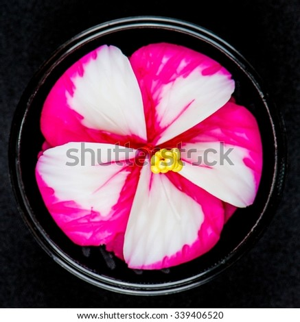 Purple Plumeria on white background