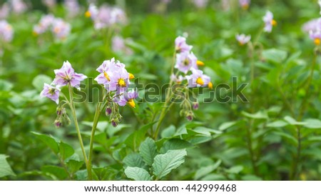 Purple Potato flowers on a field - stock photo