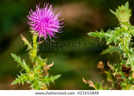Purple prickly thistle flower on natural brown background
