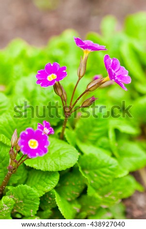purple primula flowers in the garden in the flowerbed, spring - stock photo