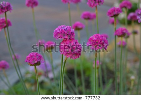 Purple Puff Flowers - stock photo