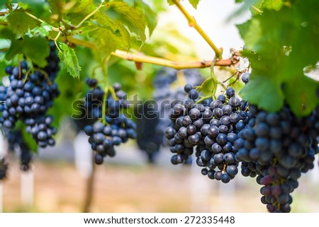 purple red grapes  on the vine - stock photo