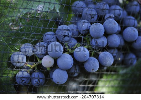 purple red grapes ready to be harvested in vineyard - stock photo