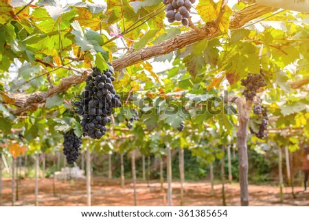 purple red grapes with green leaves on the vine at vineyard - stock photo