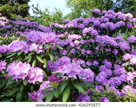 Purple Rhododendron (disambiguation)