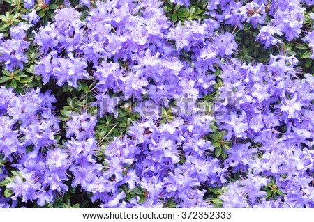 purple rhododendron flowers