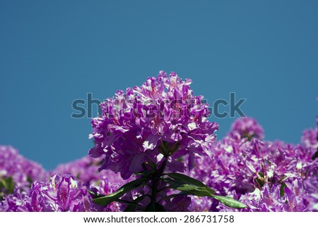 Purple rhododendron flowers closeup with pistils and petals and sky blue - stock photo