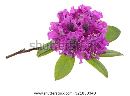 Purple rhododendron with green leaves isolated on white background - stock photo