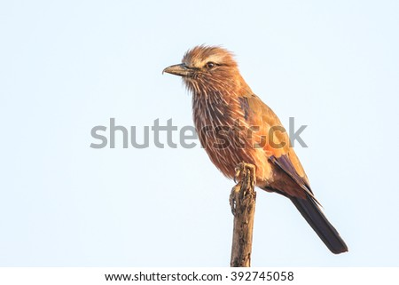 Purple roller bird sitting on top of branch, Kruger National Park, South Africa