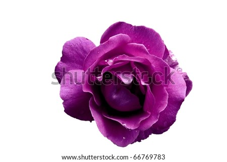 Purple Rose Flower with Water Droplets Isolated on White - stock photo