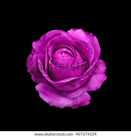 Purple Rose isolated on black background - stock photo