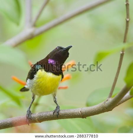 Purple-rumped sunbird in Minneriya national park, Sri Lanka ; specie Leptocoma zeylonica   - stock photo