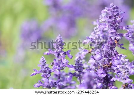 Purple salvia flowers - stock photo