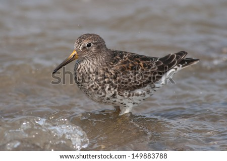 Purple Sandpiper on a rocky coast