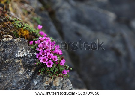 Purple saxifrage flowering at Norwegian coastal rocks. Closeup, raindrops on petals - stock photo