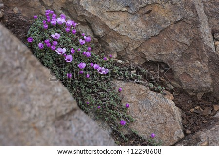 Purple saxifrage flowering at rocks. Photographed in Helgeland, Nordland, Norway. - stock photo