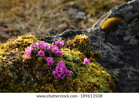 Purple saxifrage flowers at moss - stock photo