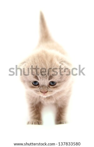 Purple scottish kitten on the white background - stock photo