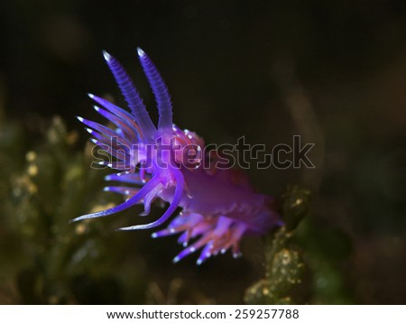 Purple sea slug, Violette Fadenschnecke (Flabellina affinis) - stock photo
