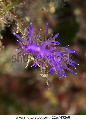 Purple sea slug, Violette Weissspitzen-Fadenschnecke (Coryphella pedata) - stock photo