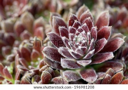 Purple sempervivum plant - stock photo