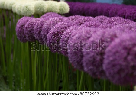 Purple sensation alliums in a row - stock photo