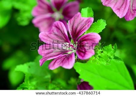 purple sensation flowers closeup in the garden - stock photo