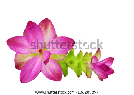 Purple siam tulip flowers isolated on white background
