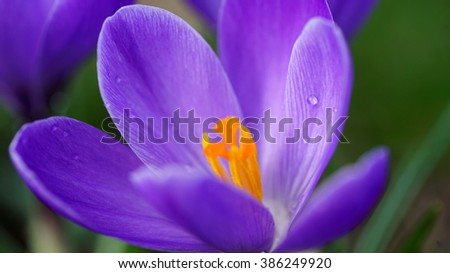 Purple snowdrop macro shot. - stock photo