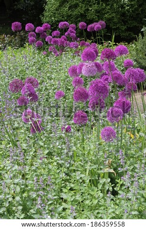 Purple Spherical Flowers in Early Summer, England.