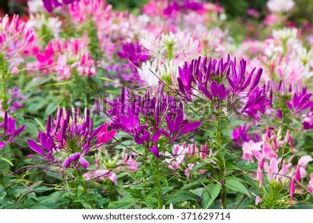 Purple spider flower(Cleome hassleriana) in the garden - stock photo