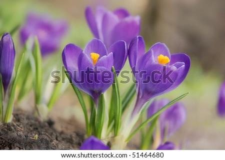 purple spring crocuses - stock photo