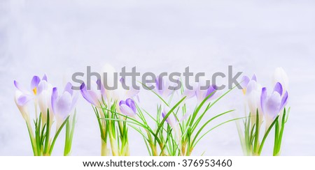 Purple spring crocuses flowers on light  blue background. Spring nature or gardening concept.