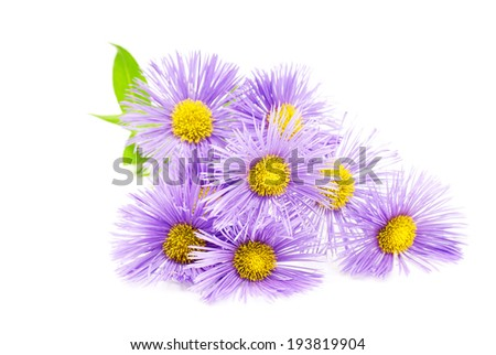 Purple spring flower over white - stock photo