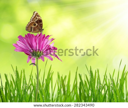 Purple spring flower with dewy grass and butterfly on green natural background - stock photo