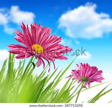Purple spring flowers with green grass on blue sky - stock photo