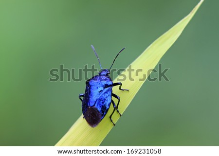 purple stinkbug on green leaf in the wild natural state. - stock photo