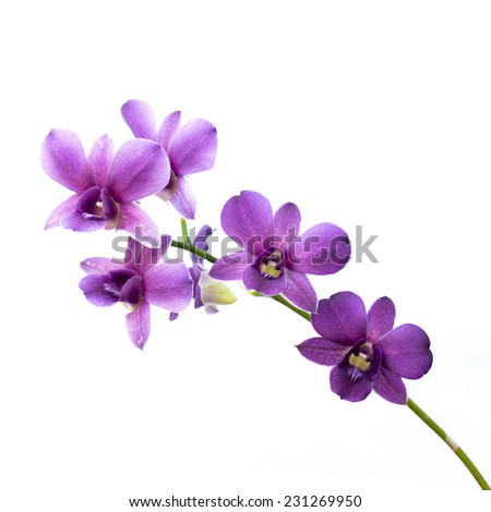 purple streaked orchid flower, isolated - stock photo