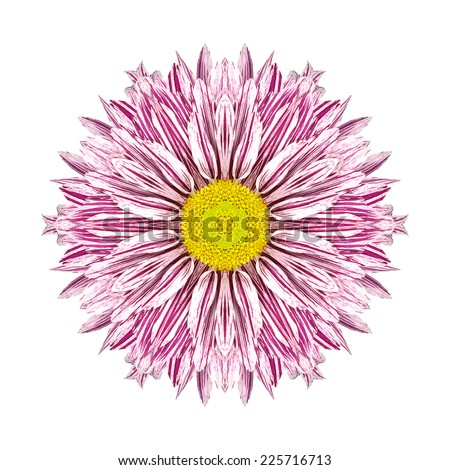 Purple Stripes on White Concentric Chrysanthemum Flower Isolated on White Background. Kaleidoscopic Mandala Design. Beautiful Natural Mirrored pattern