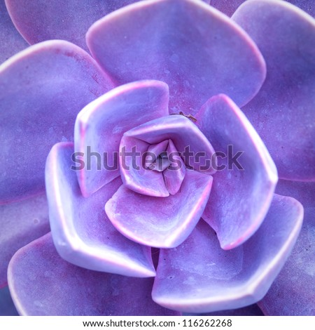 purple succulent - cactus flower - stock photo