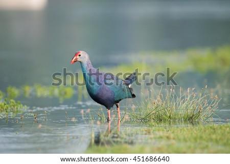 Asian Purple Swamphen