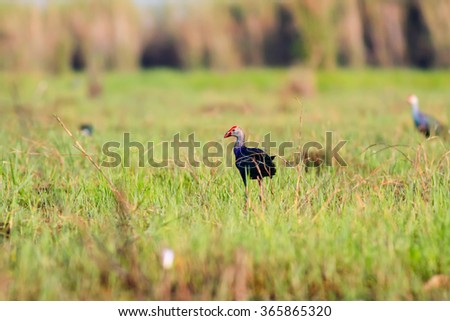 Purple swamphen wading out on marshy shore looking for food