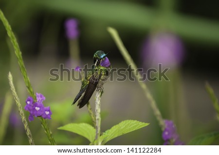 Purple-throated Mountain Gem hummingbird Photographed in Costa Rica. - stock photo